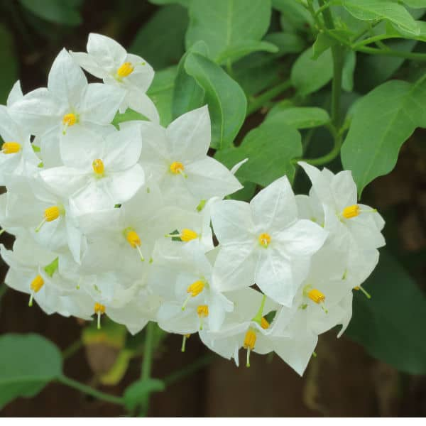 Solanum climbing plant ideal for partial shade