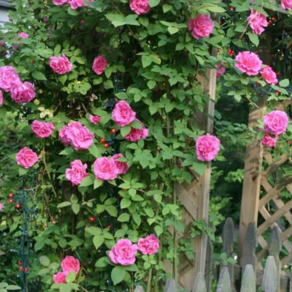 Zephirine Drouhin climbing rose ideal for north facing walls