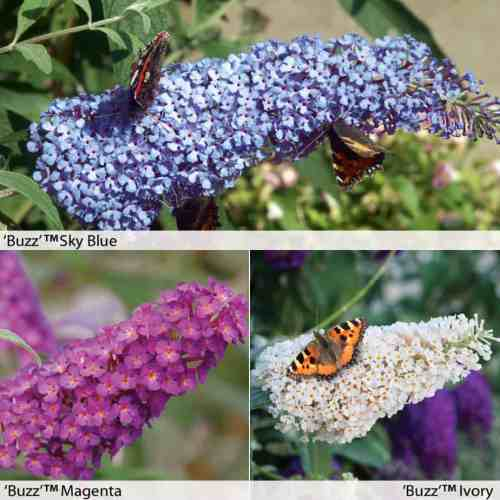 Buddleia Buzz a true dwarf buddleia that grows to 120cm tall and is available in 'Sky Blue', 'Magenta' and 'Ivory'. Attract butterflies  and ideal for pots and planters and look fantastic on the patio