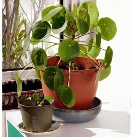 chinese money plant house plant also known as Pilea peperomioides