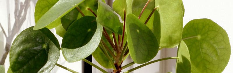 How to grow the Chinese Money Plant (Pilea peperomioides)