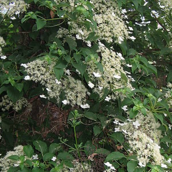 climbing hydrangea which grows in shade - Climbing Plants