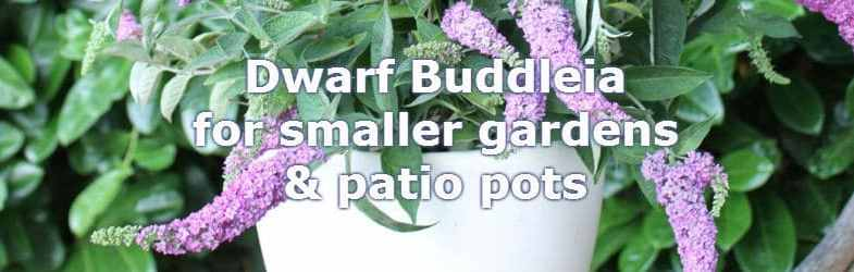 Dwarf Buddleia – Butterfly Bushes Ideal For Small Gardens & Patio Pots
