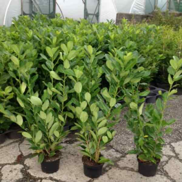 common laurel is an evergreen fast growing hedging plant