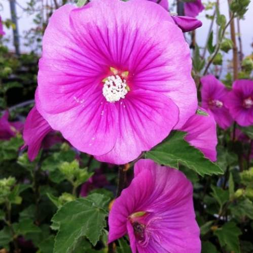 fast growing lavatera bredon springs ideal for screening and informal hedging.