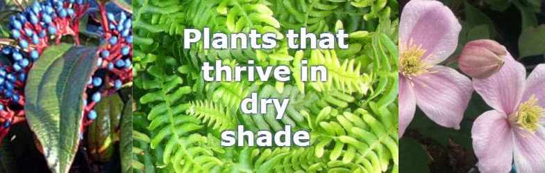 Plants for dry shade to brighten up that barren, shady part of the garden
