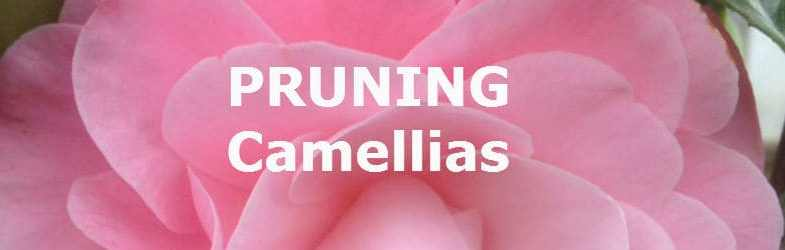 Pruning Camellias – How and when to prune a Camellia
