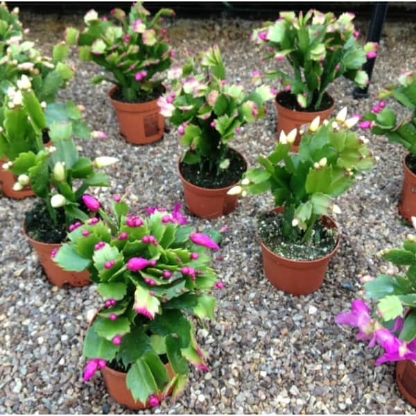 christmas cactus colours pink, red, white and purple