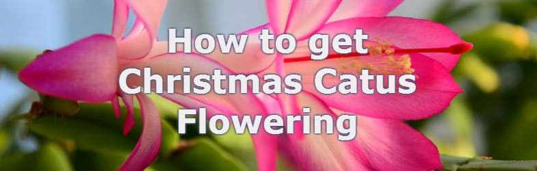 how to get christmas cactus flowering
