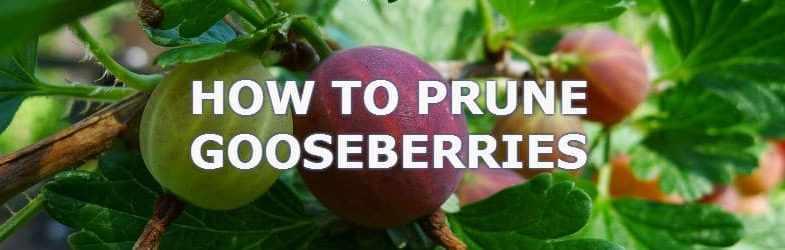 Pruning gooseberries