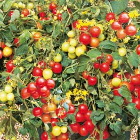 tumbler tomato ideal for hanging baskets