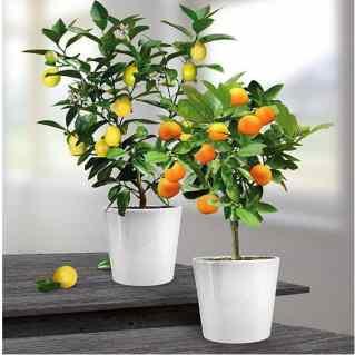 Citrus Lemon and Orange Gift set
