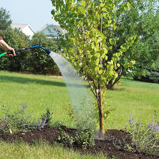 Watering tree after planting