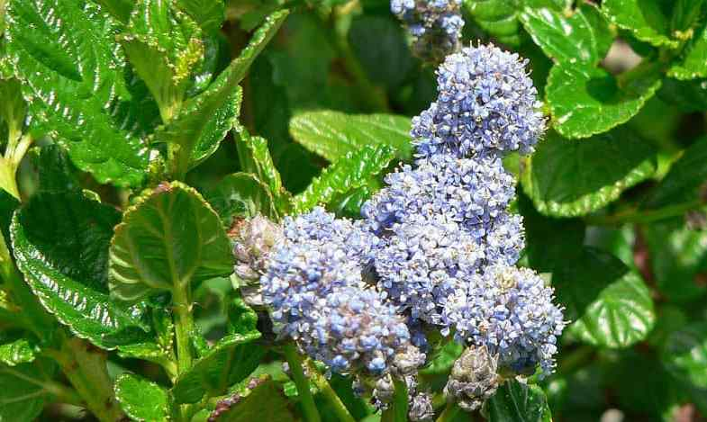 Growing ceanothus – a beginners guide
