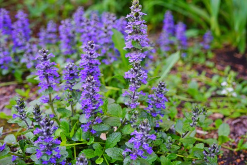 Perennials will grow regularly and this is no exception. This particular perennial is also referred to as the carpet bugle and it is a semi evergreen perennial that is part of the mint family. It offers beautiful flowers of blue and purple that grow in whorl designs.