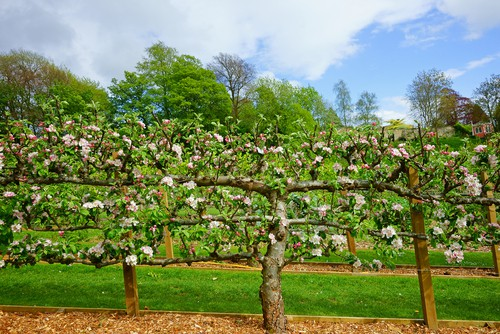 The training and selection of a framework that you do for your tree should be done within the first few years of growth. If you do this properly it will influence the strength and the longevity of your apple tree.
