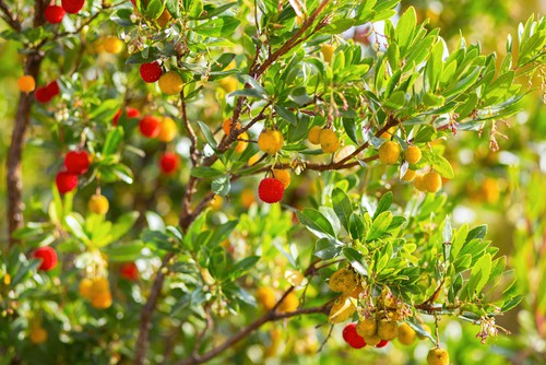 The strawberry tree is a graceful evergreen shrub that has a cinnamon bark shade juxtaposed with dark green foliage. During the springtime, you get a collection of white flowers which eventually yield right strawberry shaped fruits that are completely edible although it can take nearly a year to ripen