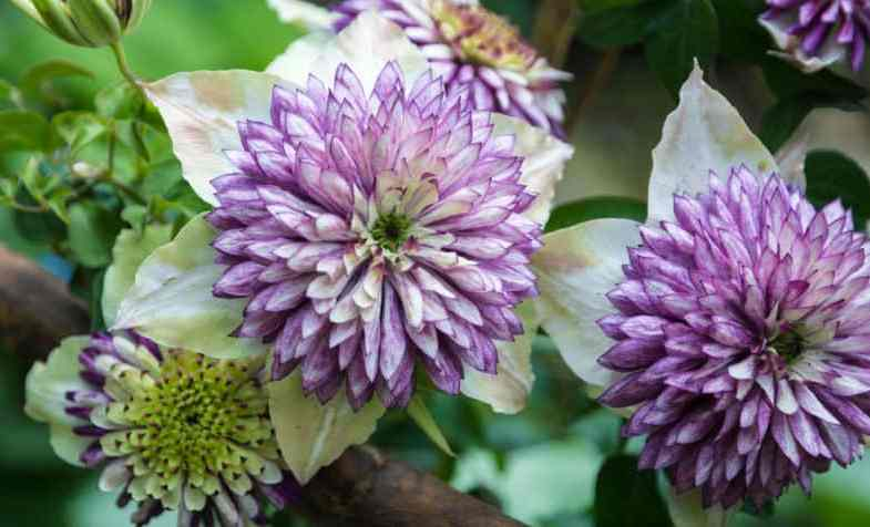 Best Clematis For Pots