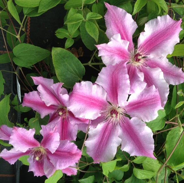 This variety gives you a break from all the purple and brings this to the table a beautiful pink. Running up the centre of each bloom you will see hot pink stripes accented by billowing light pink exteriors.