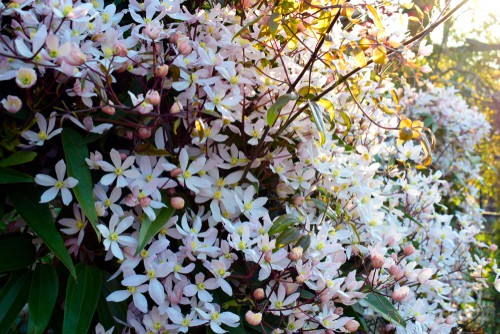 This variety of climbing clematis is a sweetly scented climber that is well-known for the diverse foliage it offers and the single form of flowers that take on the shape of stars. Clematis armandii is an evergreen, one that provides blooms that are uncharacteristic for the plant itself, trifoliate, and large, with leathery leaves.