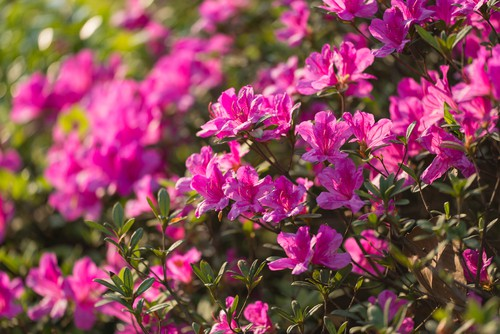 There are azaleas that come in the form of deciduous and evergreen varieties both of which are perfect spring-flowering shrubs. The Azalea comes in so many forms that you can pick pink, white, burgundy, red, even coral flowers. There's very little work required to cultivate Azalea's but a big reward.