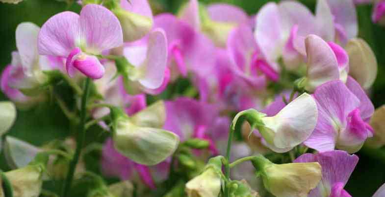 Growing Sweet peas – Indoors & outdoors