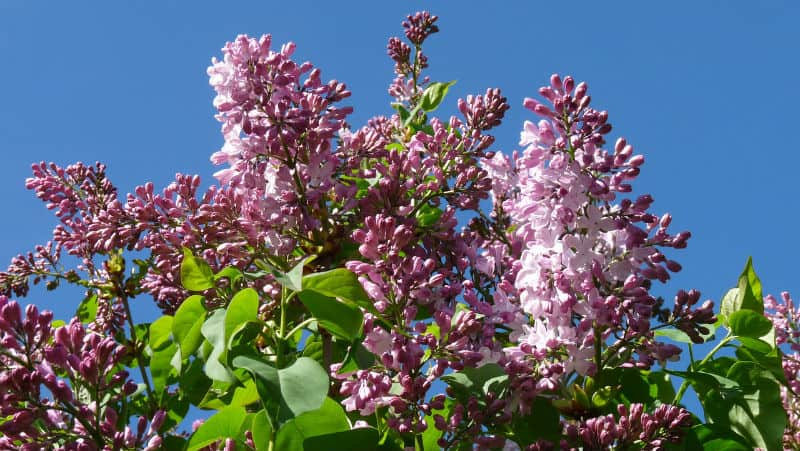 Remarkable, the care for a mature lilac bush