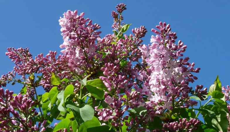 How to care for a lilac tree – the complete guide