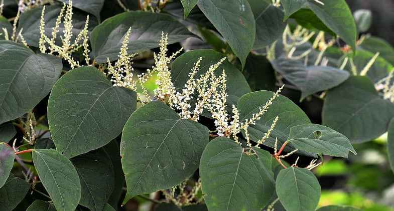 How to kill Japanese knotweed – everything you need to know