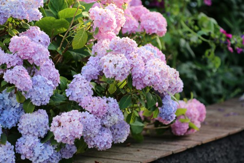Most people have either the large Mophead hydrangeas or Lacecap both of which are easy to identify.