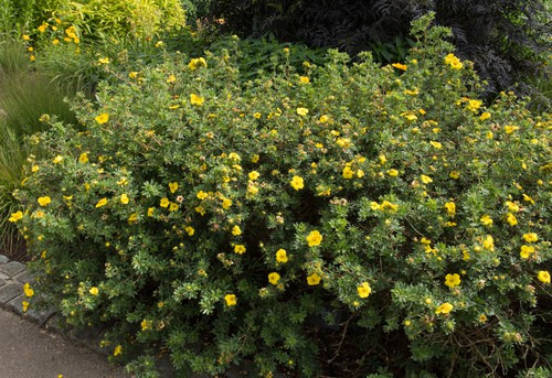 This species is a deciduous flowering shrub will tolerate cooler temperatures quite well. In fact, it grows in higher altitudes naturally
