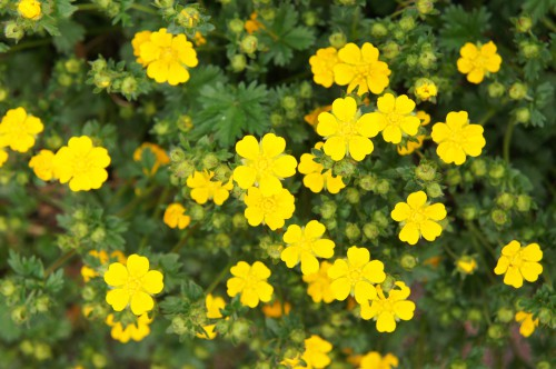 The potentilla Goldfinger is not nearly as ostentatious in terms of its flowers as some of the other plants on this list so it is ideal for a more reserved garden space where you still want yellow flowers but yellow flowers that are spread out across the vastness of the plant and not clustered together in dense groups.