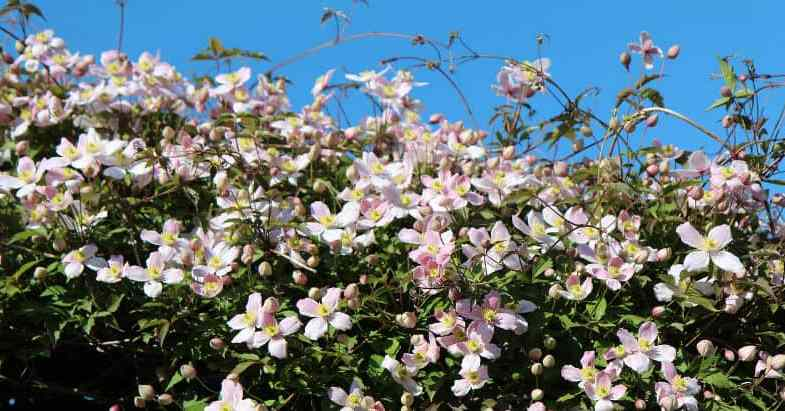 Pruning clematis montana – pruning group 1 clematis