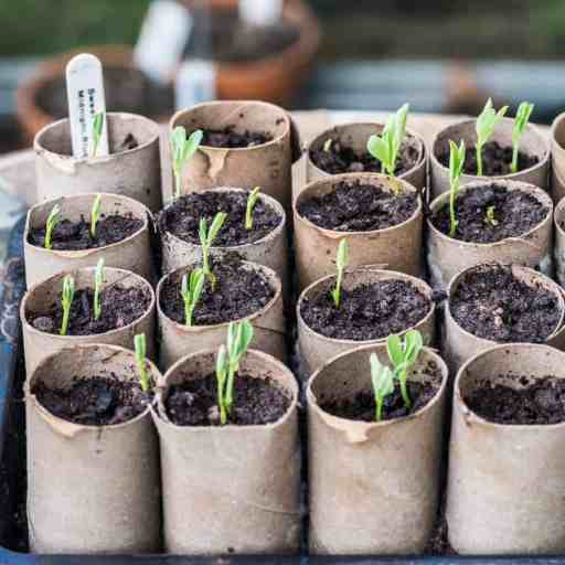 If you sow them indoors this can be done between January and March, fill a 9cm pot with quality compost and place around 6-7 seeds nicely spread with an inch of compost on top. Water well and cover with a piece of clear plastic such as a sheet of polythene.