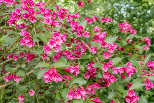 The last pick on our list is Weigela which offers deciduous shrubs that are actually held in a collection at the Sheffield Botanical Gardens. These are considered part of the honeysuckle family and as such, produce beautiful springtime displays of funnel-shaped flowers.