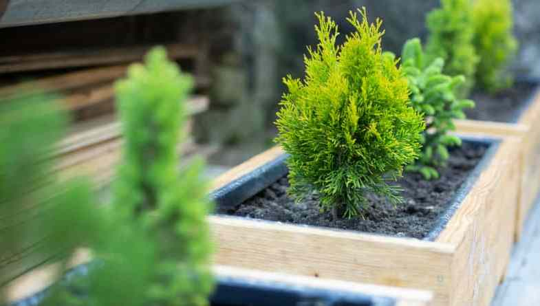 10 Best Dwarf Conifers For Containers