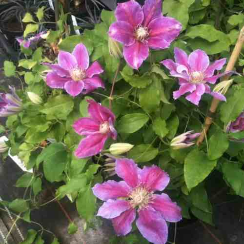 Clematis bees jubilee - great for shade. purple flowers with a pink bar often 15-20cm across