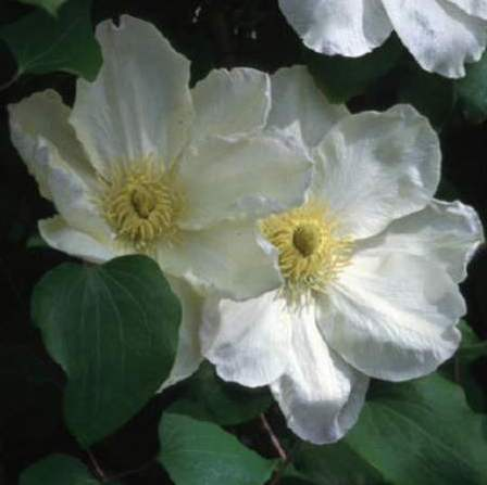 The Guernsey Cream, part of the Group 2 clematis, grows quickly and produces two rounds of flowers per season. As such, you can deadhead after the first flush and prune it at the end of winter or start of spring, and then again in between flushes.