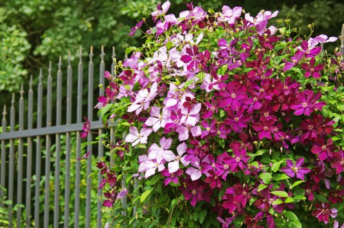 If you prune your clematis right after it is finished blooming there is no risk of accidentally removing the flowers for next year. This is also the appropriate time for you to cut and shape your clematis.
