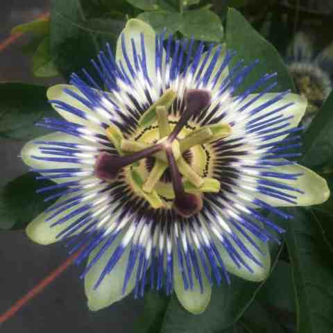 Passion flower - evergreen climber that grows well in large containers