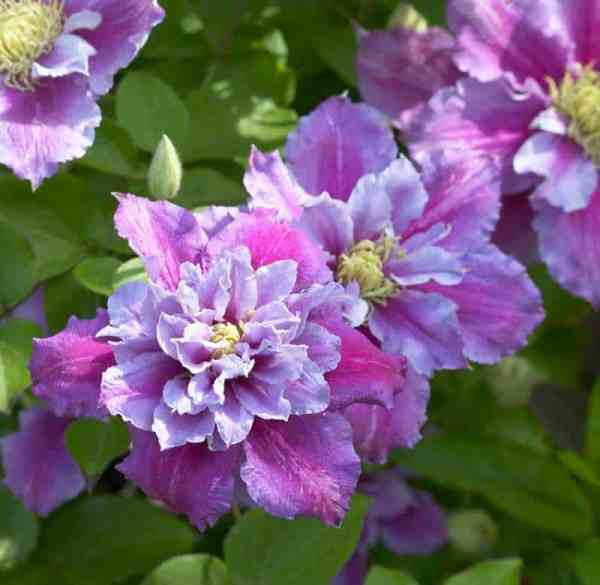 This variety is regarded as one of the best clematis for containers and is probably our personal favourite. It produces vigorous flowers, the first flush of which take place at the end of spring typically with double blooms and the second takes place at the end of summer with single blooms.