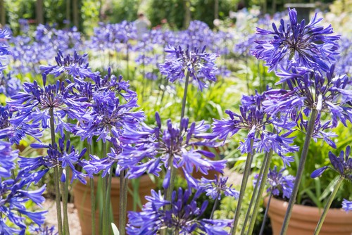 If you want a blue variety of flowers, Midnight Star is the best variety to choose. The agapanthus offers flowers for a very long amount of time bringing showy flowers of multiple shades from the middle of summer all the way through the beginning of autumn. Suitable for containers it makes for an excellent border plant and it will thrive in the sun, offering something visually appealing all season long.