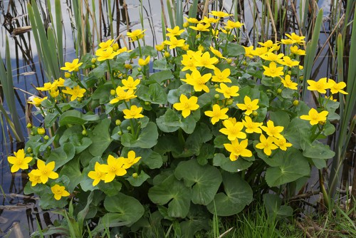 Caltha palustris - grows in very wet waterlogged soils
