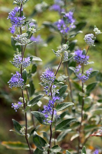Known as Bluebeard, this deciduous shrub reaches about 1 meter maximum in height and spread which makes it perfect for a low-growing plant.