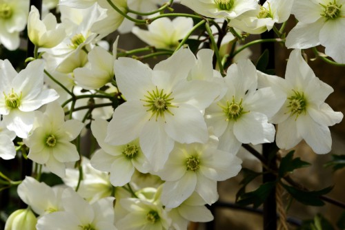 The Clematis Avalanche gets its name from the literal avalanche of flowers it provides. Come spring time you will enjoy pure white flowers that have gold stamens end create a literal blanket of foliage and flowers. It will naturally trail down any embankment you have and look like an avalanche of snow.