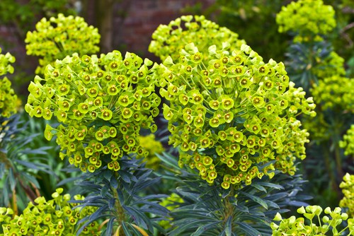 Euphorbia amygdaloides - perfect for shade
