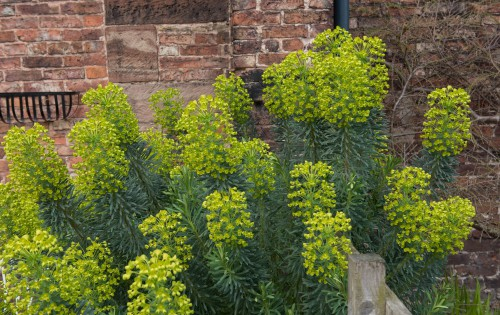 Known as the spurge, this is an upright plant that grows with a woody base and green stems. It reaches up to a meter in height and spread and is a little unusual compared to most other shrubs. The leaves are blue-green in shade arranged in spirals along the stems each of which is topped by greenish-yellow flowers that have stunning incandescence.