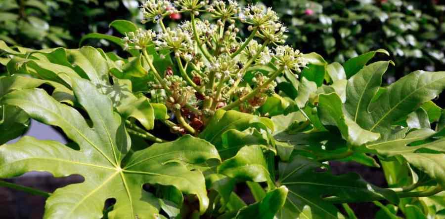 Fatsia japonica pruning