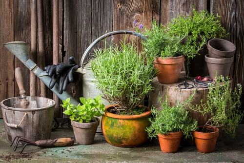 You can grow your Lavender in pots from seed, from cuttings, or from pre-established plants that you purchased from a nursery or garden centre which is the most popular choice as its instant.
