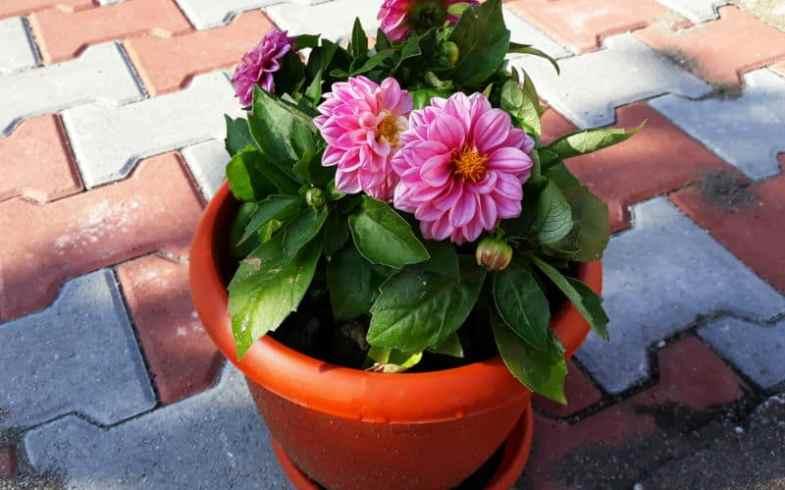 Growing dahlias in pots